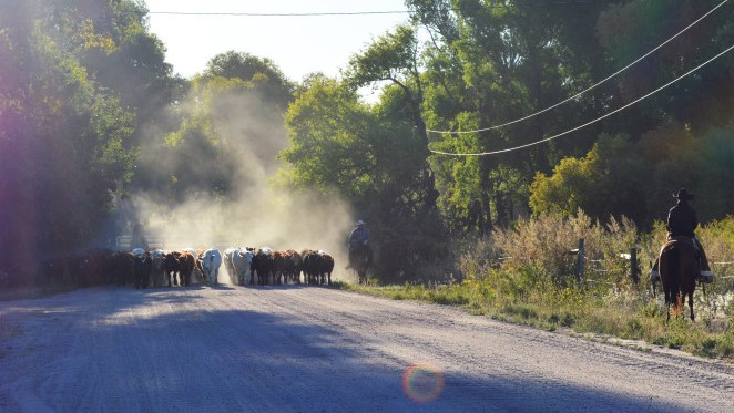 Cows coming down the road in the morning 2
