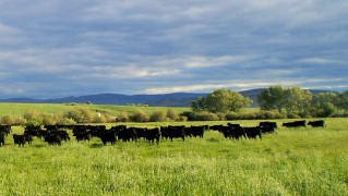 cows in Montana green 2