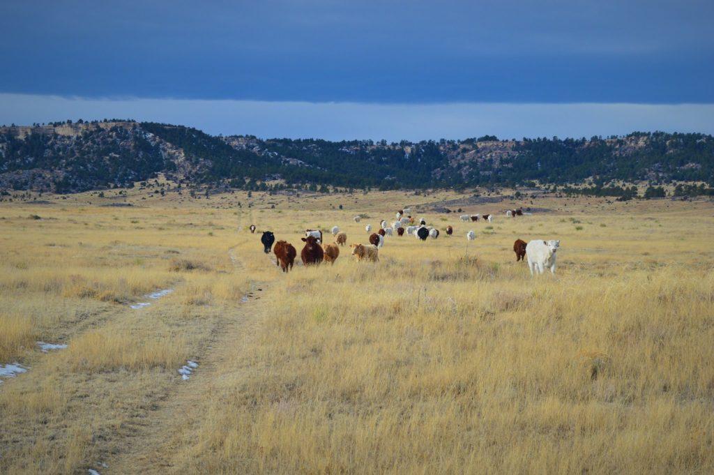 cows in bijou pretty 1024x681