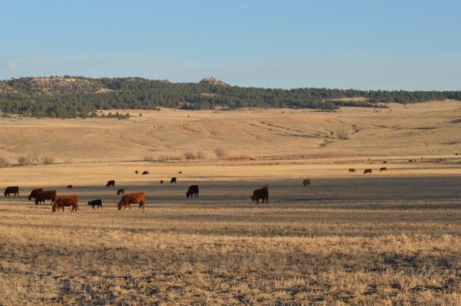 cows on pivot